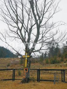 Copaci socotiti sfinti in Muntii Raraului